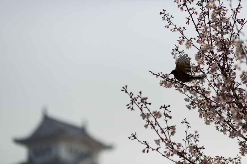 Himeji Castle bird on cherry tree